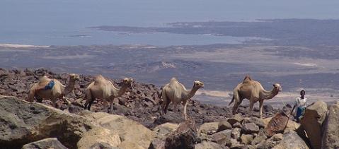 Djibouti Lac Assal camels